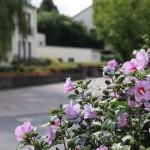 """Azaleenblüte in der Keltenstraße"" - Herbert Hennes"