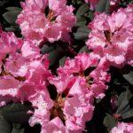 """""""Rhododendron"""" - Foto Herbert Hennes"""